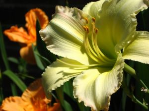 Perennial of the Week-Daylily