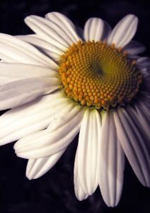 Perennial of the Week:  Shasta Daisy
