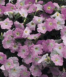 Annual of the Week-Petunia