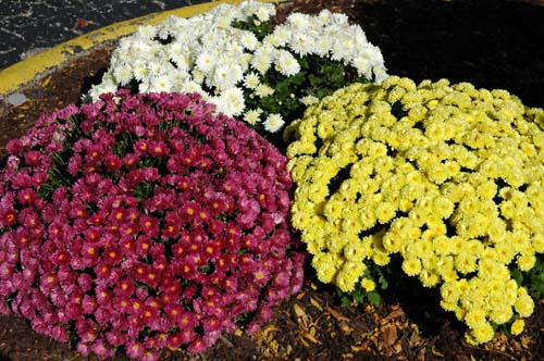Mums for Short…a beautiful display of mums.